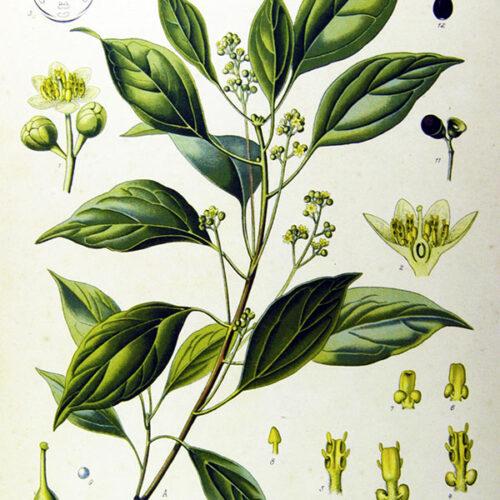 ravintsara aromazone